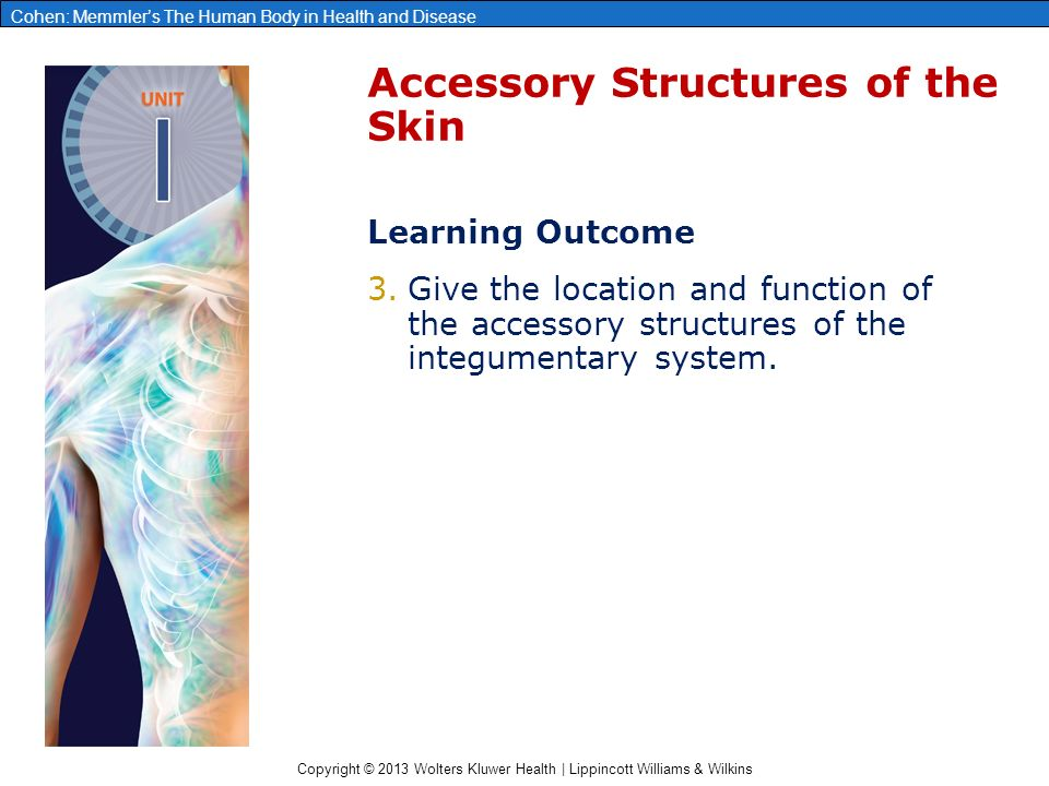 Copyright © 2013 Wolters Kluwer Health | Lippincott Williams & Wilkins Cohen: Memmler's The Human Body in Health and Disease Accessory Structures of the Skin Learning Outcome 3.