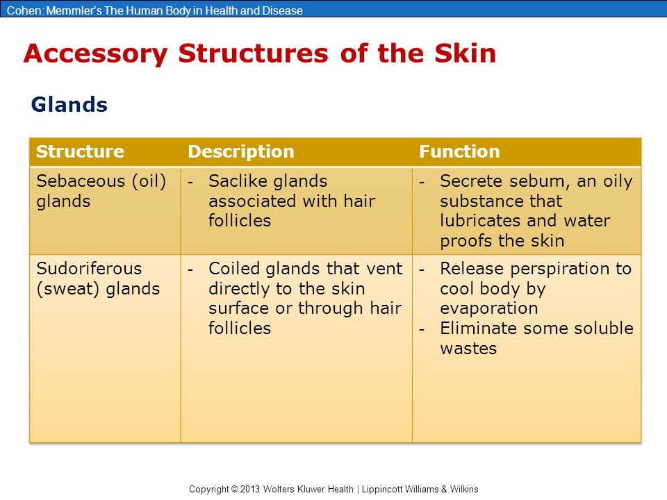 Copyright © 2013 Wolters Kluwer Health | Lippincott Williams & Wilkins Cohen: Memmler's The Human Body in Health and Disease Accessory Structures of the Skin Glands