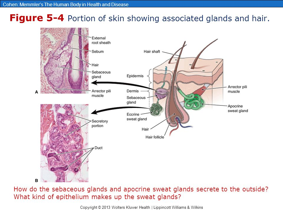 Copyright © 2013 Wolters Kluwer Health | Lippincott Williams & Wilkins Cohen: Memmler's The Human Body in Health and Disease Figure 5-4 Portion of skin showing associated glands and hair.
