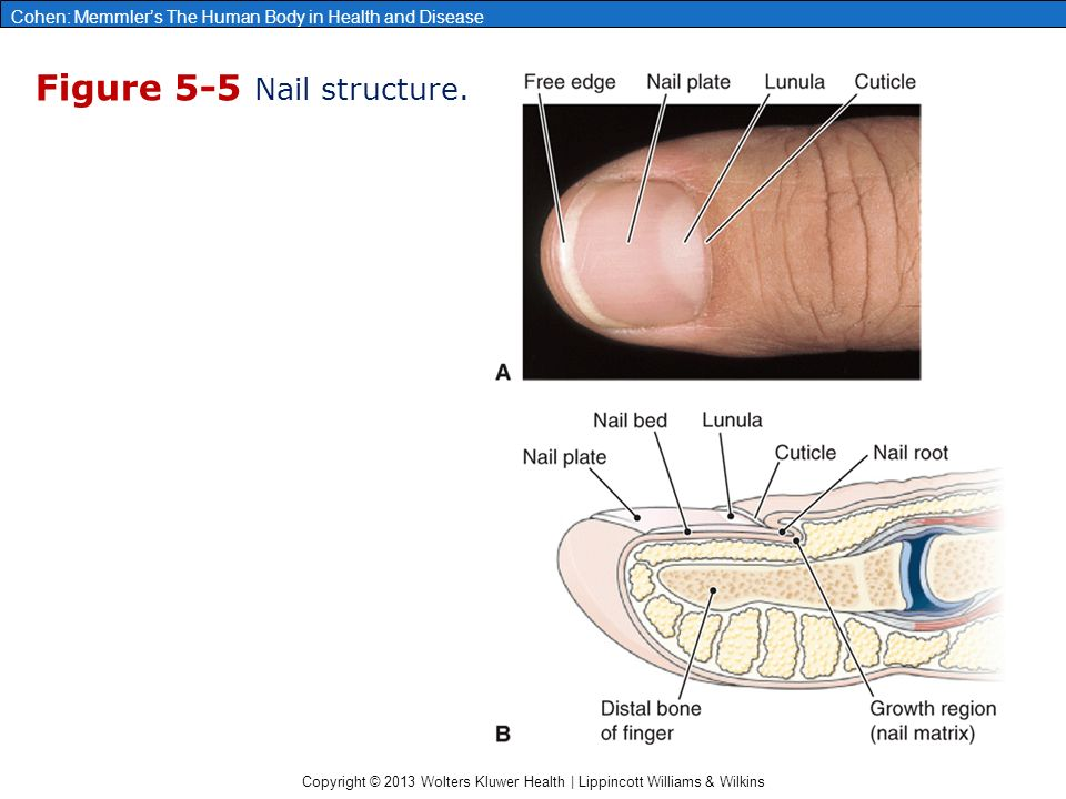 Copyright © 2013 Wolters Kluwer Health | Lippincott Williams & Wilkins Cohen: Memmler's The Human Body in Health and Disease Figure 5-5 Nail structure.