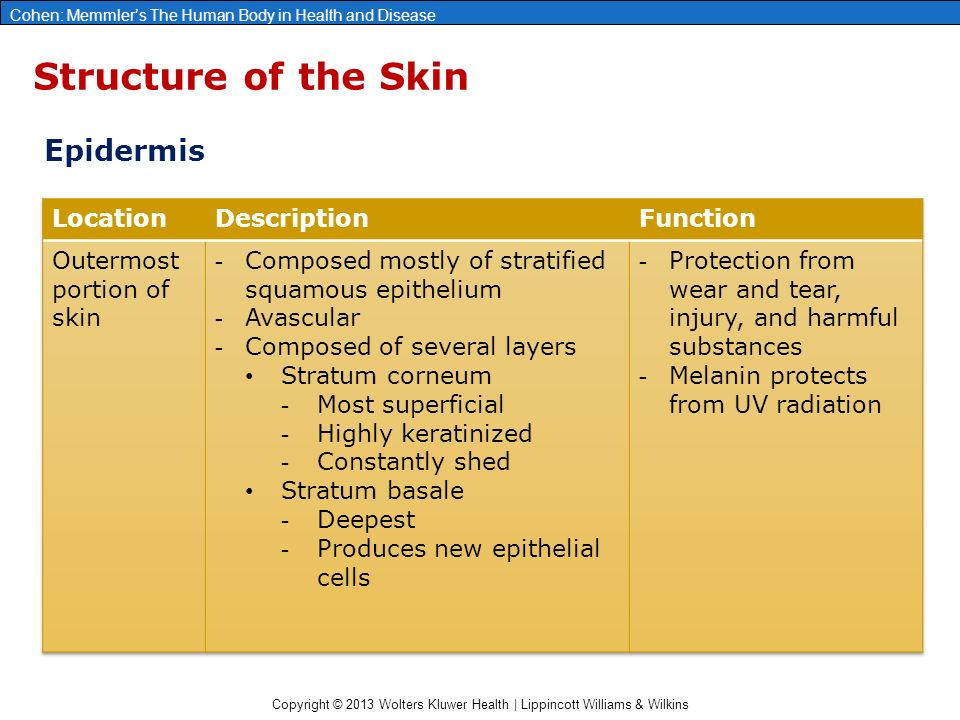 Copyright © 2013 Wolters Kluwer Health | Lippincott Williams & Wilkins Cohen: Memmler's The Human Body in Health and Disease Structure of the Skin Epidermis