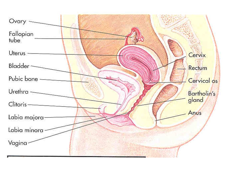 FEMALE REPRODUCTIVE ANATOMY - ppt download