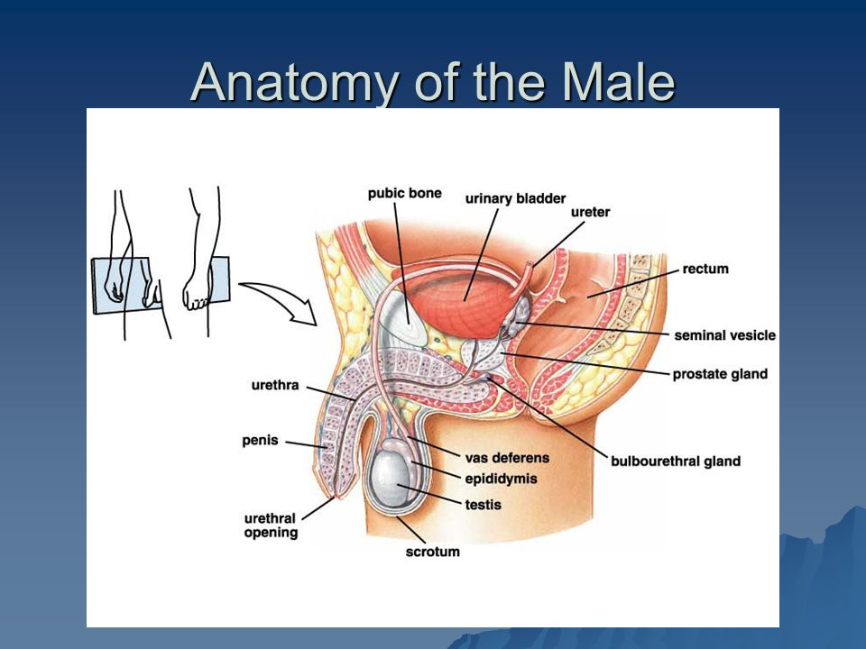 Objectives To Identify The Major Anatomical Features Of The Male