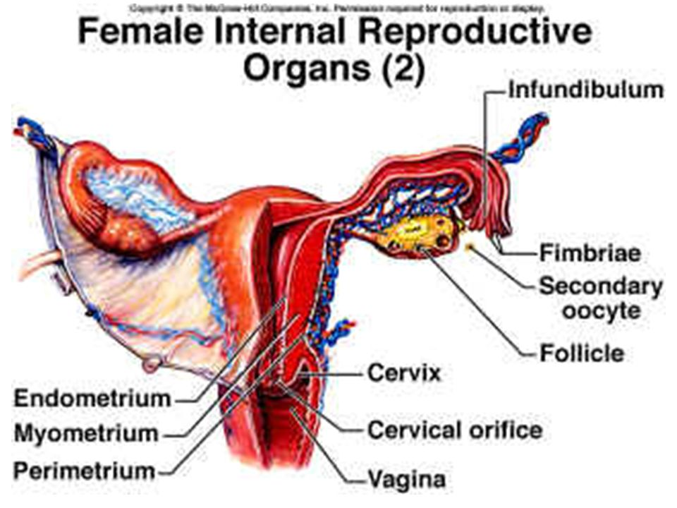 Diagram Of The Female Internal Reproductive Organ - Circuit ...