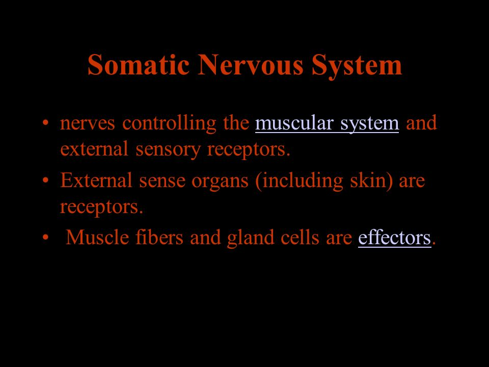 Somatic Nervous System nerves controlling the muscular system and external sensory receptors.muscular system External sense organs (including skin) are receptors.