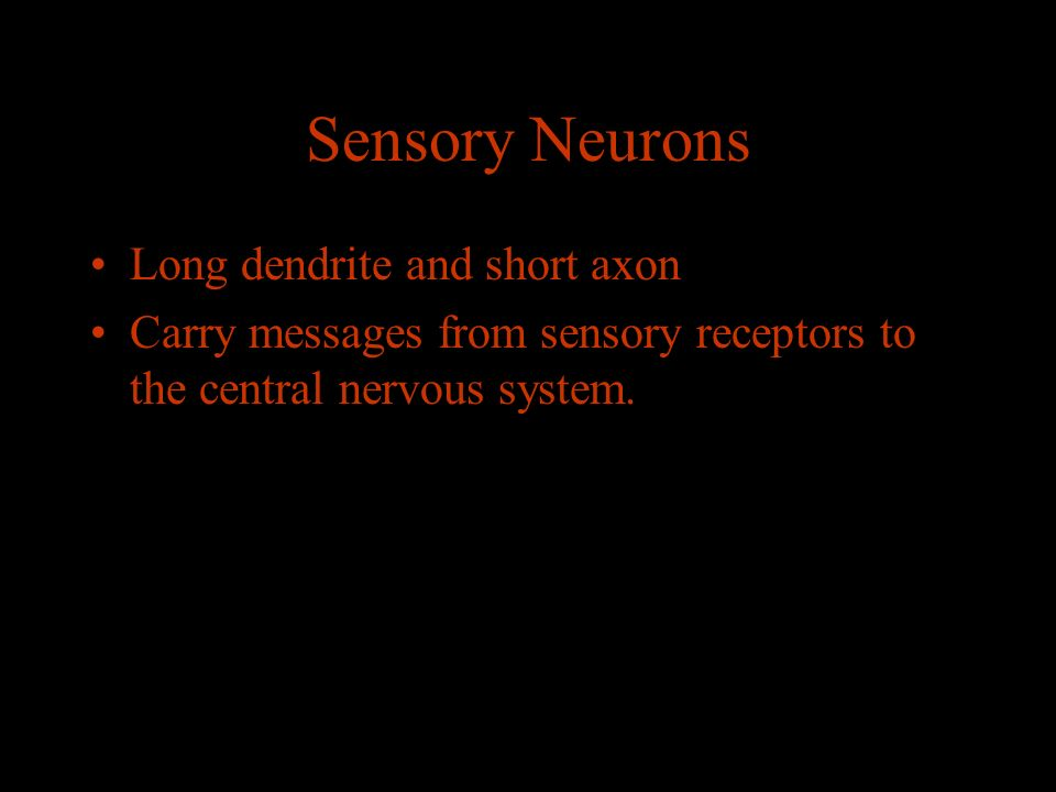 Sensory Neurons Long dendrite and short axon Carry messages from sensory receptors to the central nervous system.