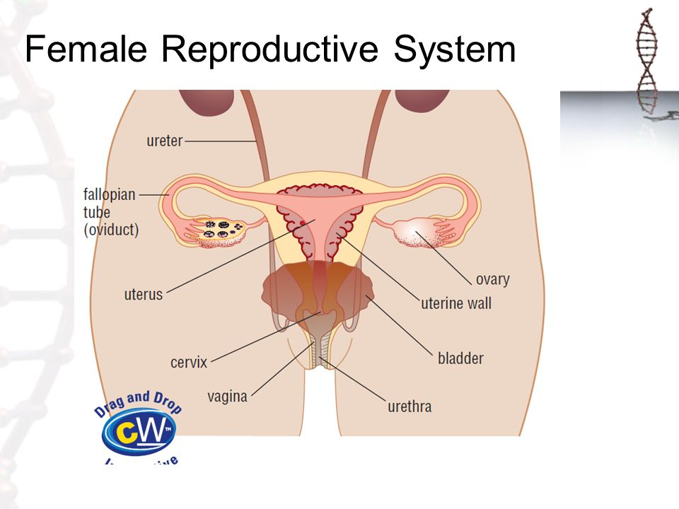 Female Reproductive System Diagram Urethra Block And Schematic