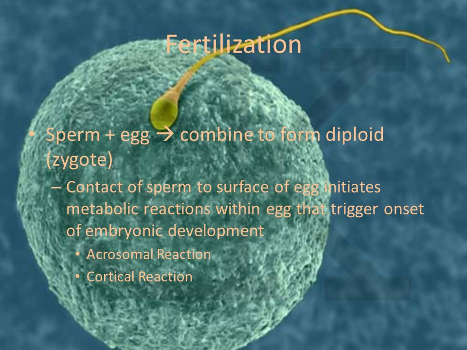 Fertilization Sperm + egg  combine to form diploid (zygote) – Contact of sperm to surface of egg initiates metabolic reactions within egg that trigger onset of embryonic development Acrosomal Reaction Cortical Reaction