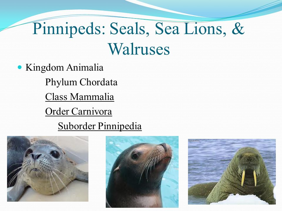 Seals The Pinnipeds and Walruses Sea Lions