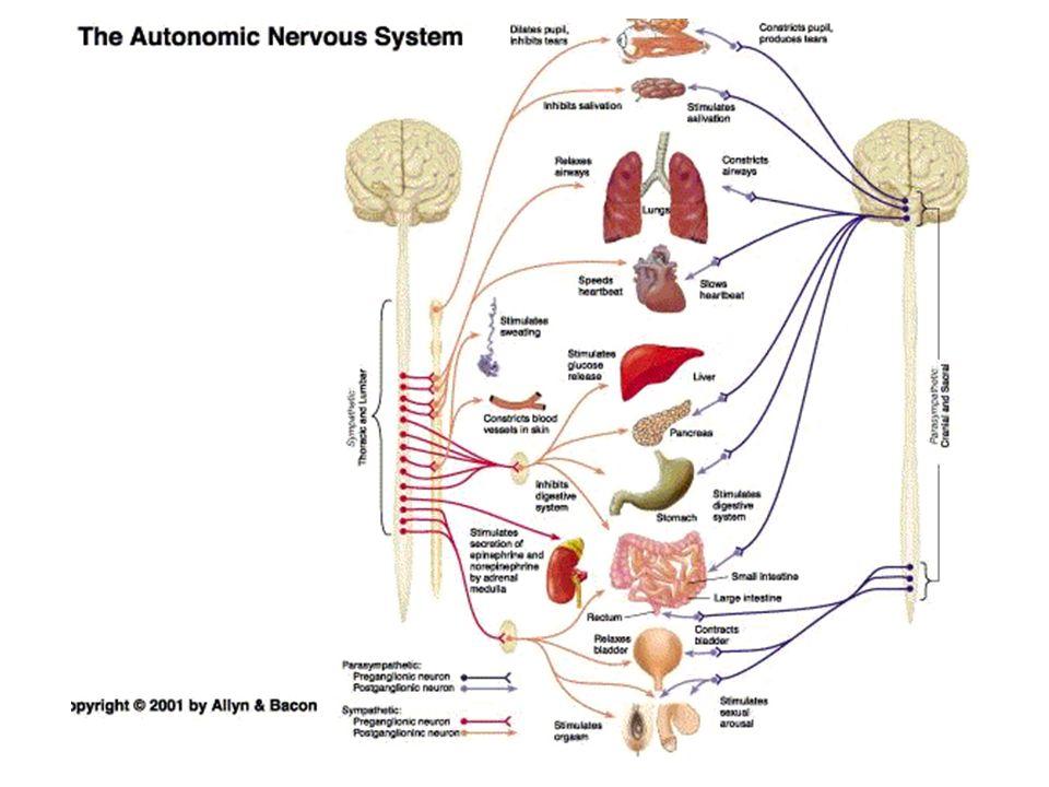 Hypothalamus Chapter 6 Center that integrates autonomic, endocrine ...