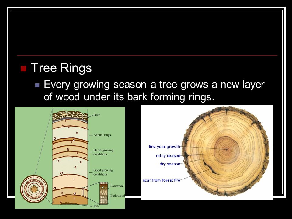 Tree Rings Every growing season a tree grows a new layer of wood under its bark forming rings.