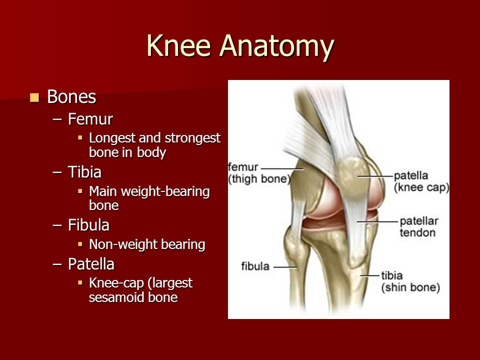 Knee And Thigh Anatomy Sports Medicine I Knee Anatomy Largest Joint