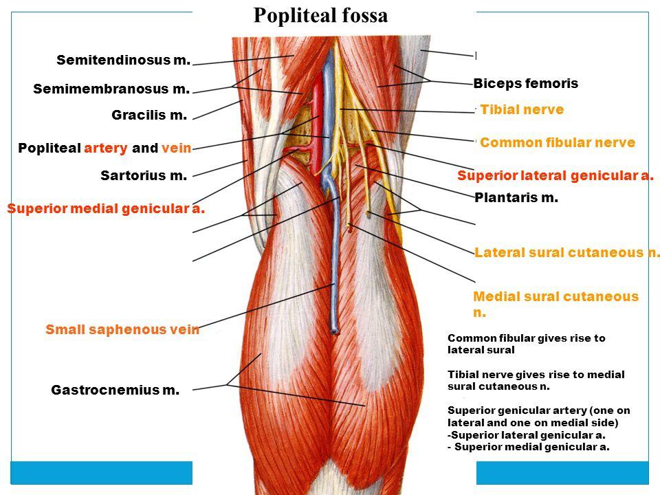 Lower Limb, part II Barbara Kraszpulska, Ph.D. Neuroscience, Cell ...