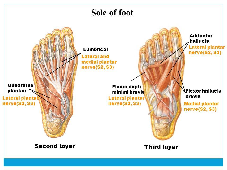 Lower Limb Part Ii Barbara Kraszpulska Phd Neuroscience Cell