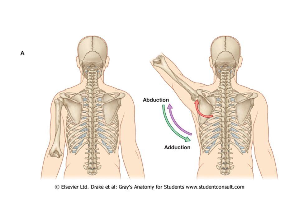 Shoulder joint. - ppt download