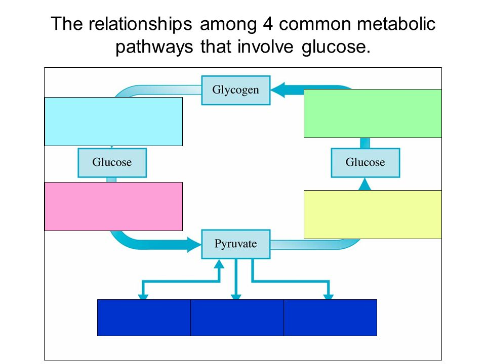 The relationships among 4 common metabolic pathways that involve glucose.