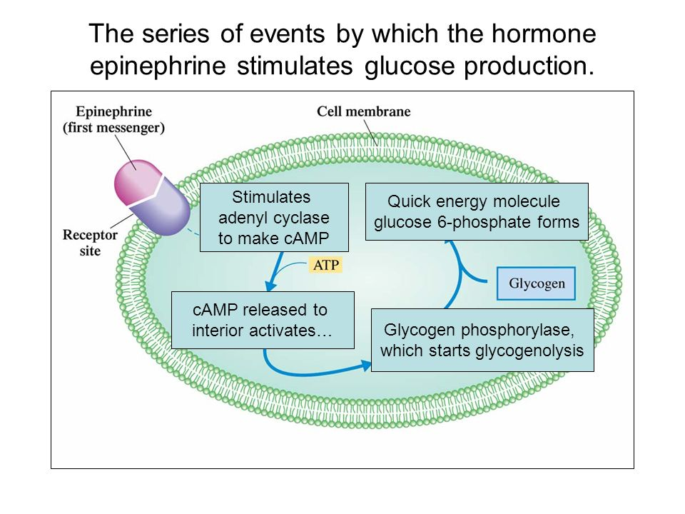 The series of events by which the hormone epinephrine stimulates glucose production.