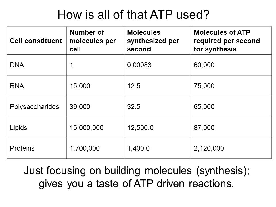 Cell constituent Number of molecules per cell Molecules synthesized per second Molecules of ATP required per second for synthesis DNA ,000 RNA15, ,000 Polysaccharides39, ,000 Lipids15,000,00012, ,000 Proteins1,700,0001, ,120,000 How is all of that ATP used.