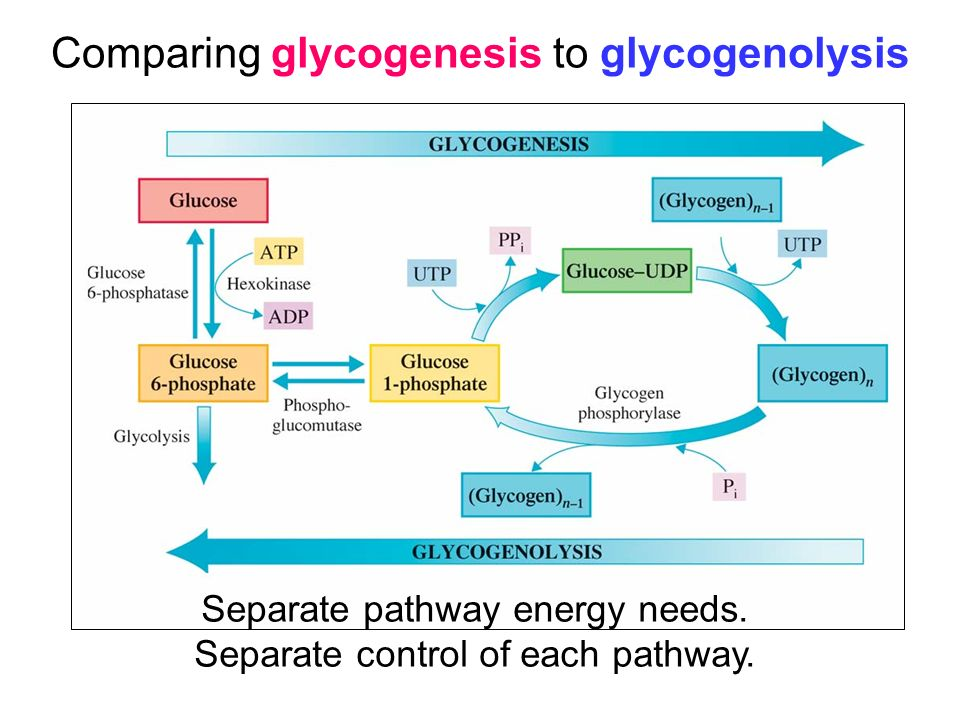 Comparing glycogenesis to glycogenolysis Separate pathway energy needs.