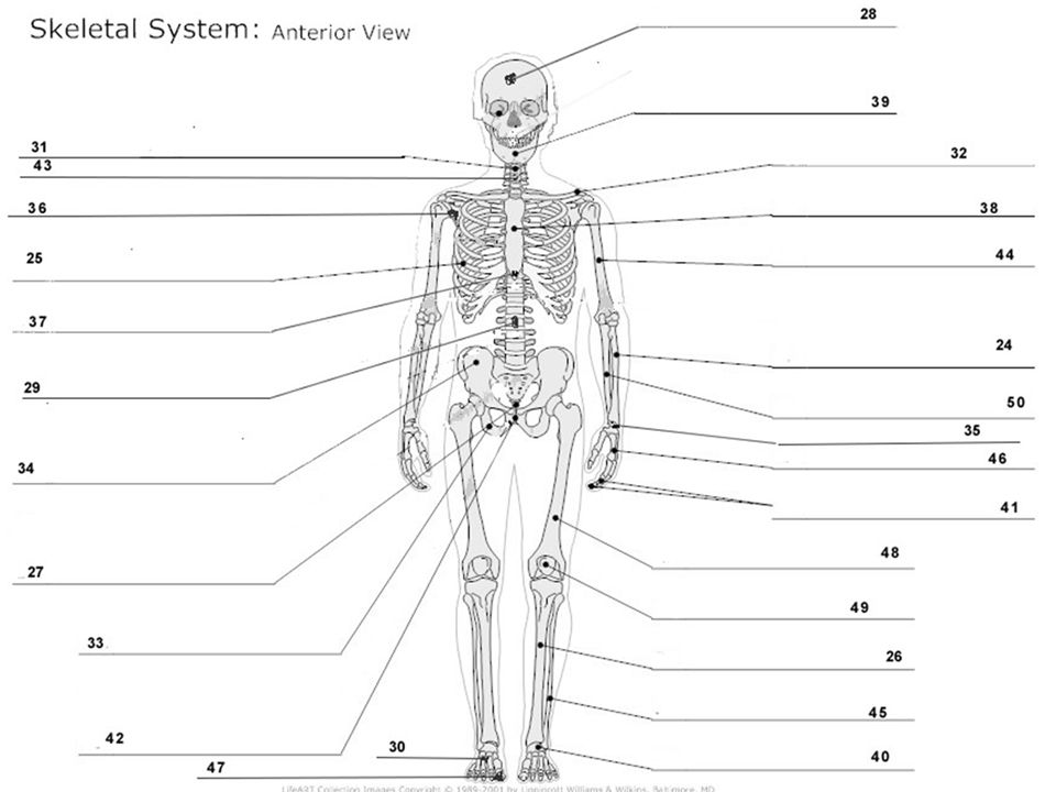 SKELETAL SYSTEM SKELETON, BONES, JOINTS, & CONNECTIVE TISSUES ...