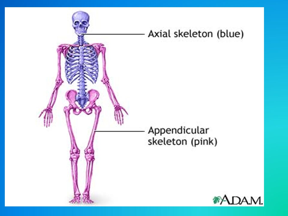 Skeletal System Facts 350 Bones At Birth 206 Bones As An Adult
