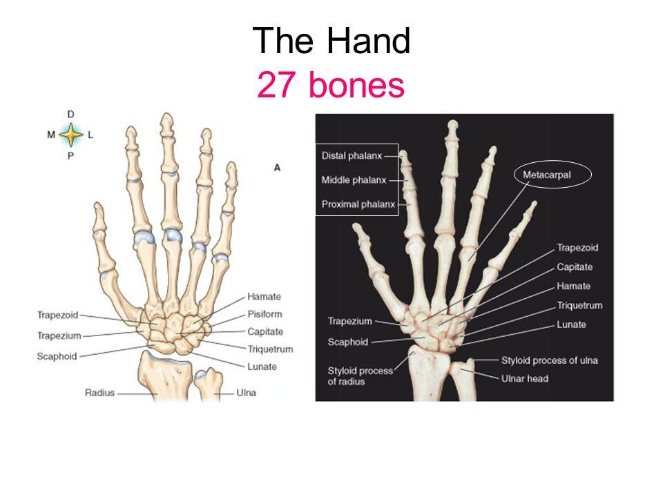 Skeletal System 300 Baby Bones 206 Adult Bones 12 Are In Hands