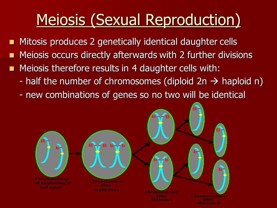 Meiosis (Sexual Reproduction) Mitosis produces 2 genetically identical daughter cells Mitosis produces 2 genetically identical daughter cells Meiosis occurs directly afterwards with 2 further divisions Meiosis occurs directly afterwards with 2 further divisions Meiosis therefore results in 4 daughter cells with: Meiosis therefore results in 4 daughter cells with: - half the number of chromosomes (diploid 2n  haploid n) - new combinations of genes so no two will be identical