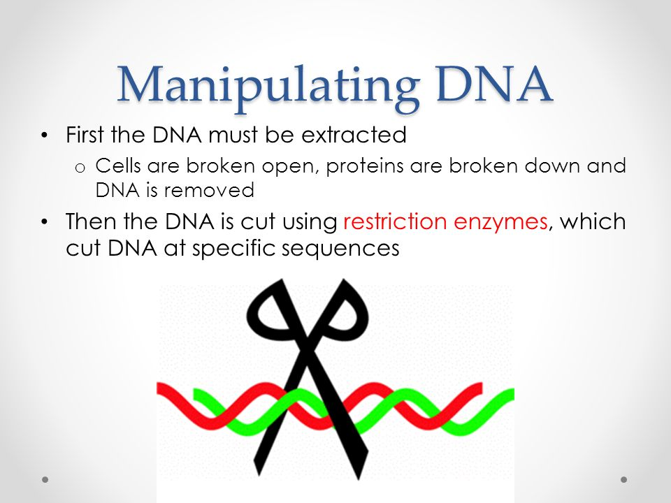 Manipulating DNA First the DNA must be extracted o Cells are broken open, proteins are broken down and DNA is removed Then the DNA is cut using restriction enzymes, which cut DNA at specific sequences