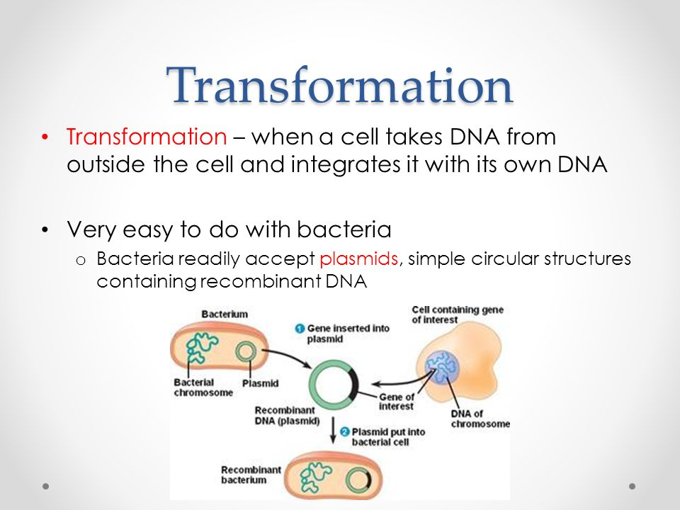 Transformation Transformation – when a cell takes DNA from outside the cell and integrates it with its own DNA Very easy to do with bacteria o Bacteria readily accept plasmids, simple circular structures containing recombinant DNA
