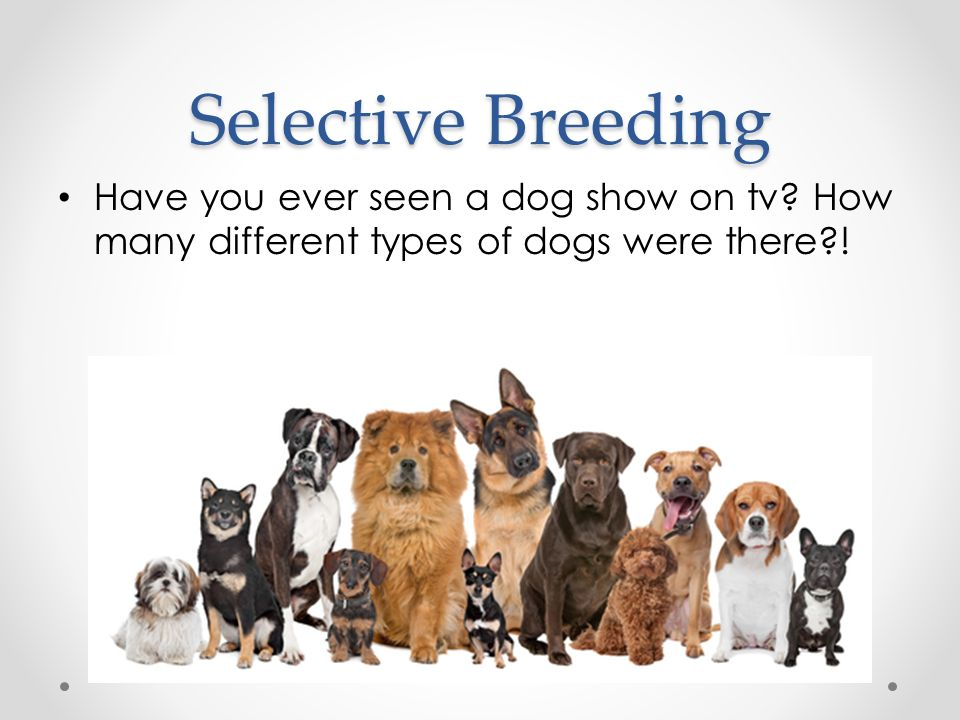 Selective Breeding Have you ever seen a dog show on tv.
