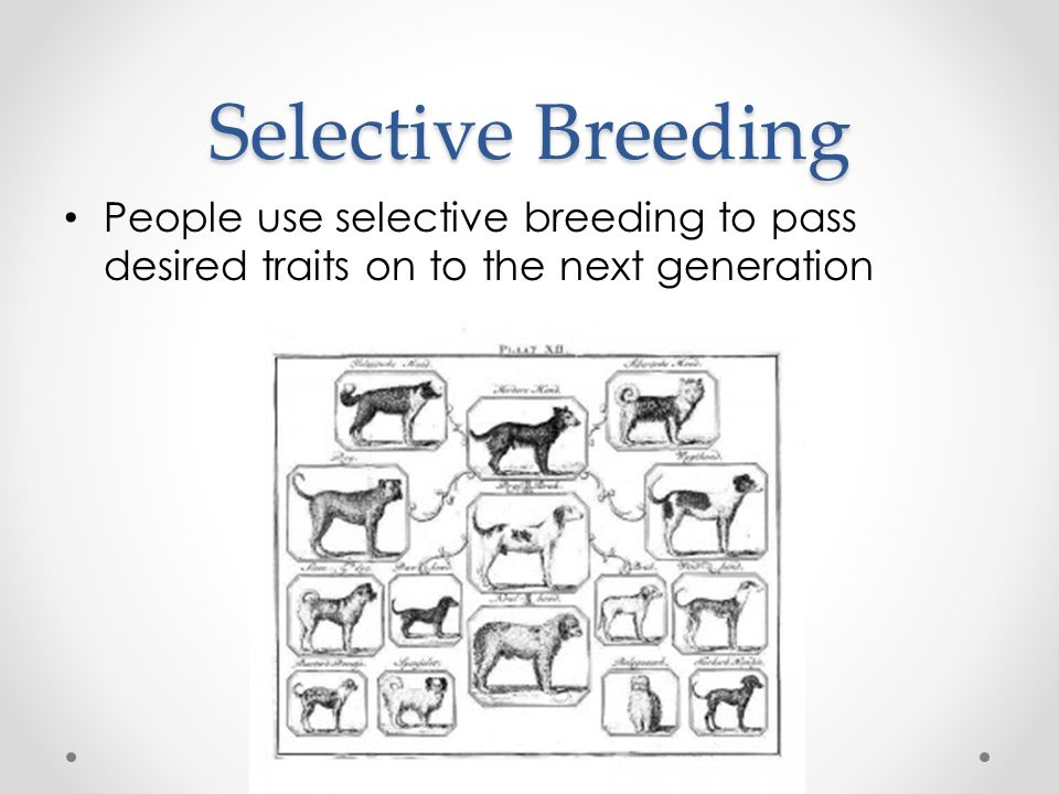 Selective Breeding People use selective breeding to pass desired traits on to the next generation