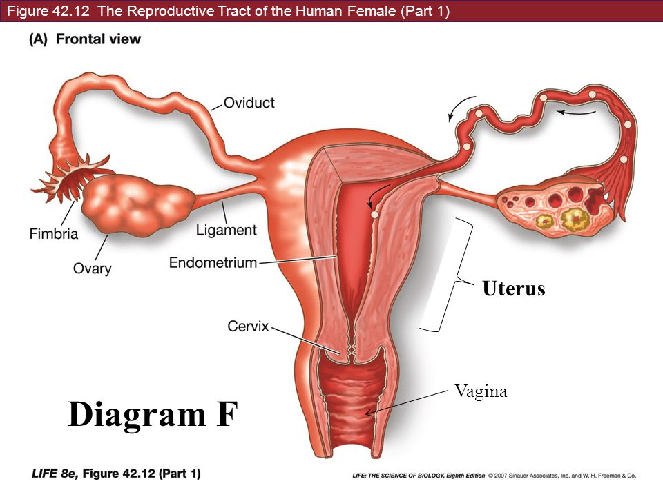 4 main jobs of the female reproductive system: 1.to make, store ... woman's diagram of an egg  slideplayer