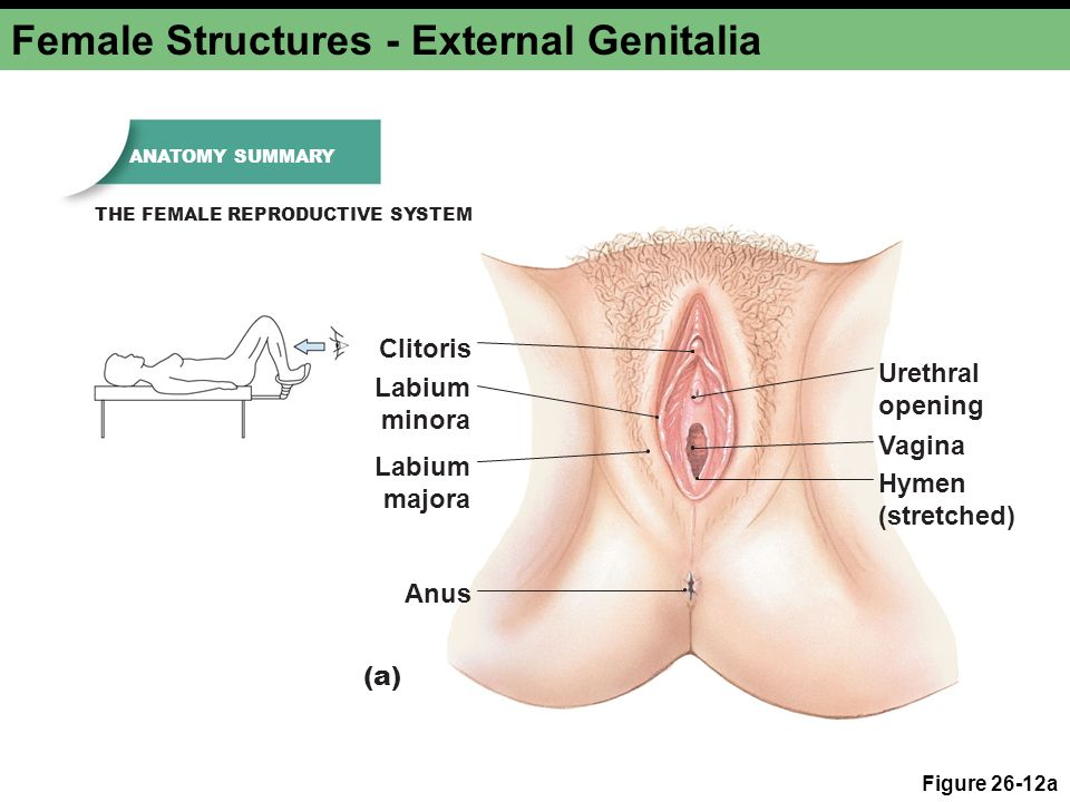 Chapter 26b Reproduction and Development. Male Reproductive ...