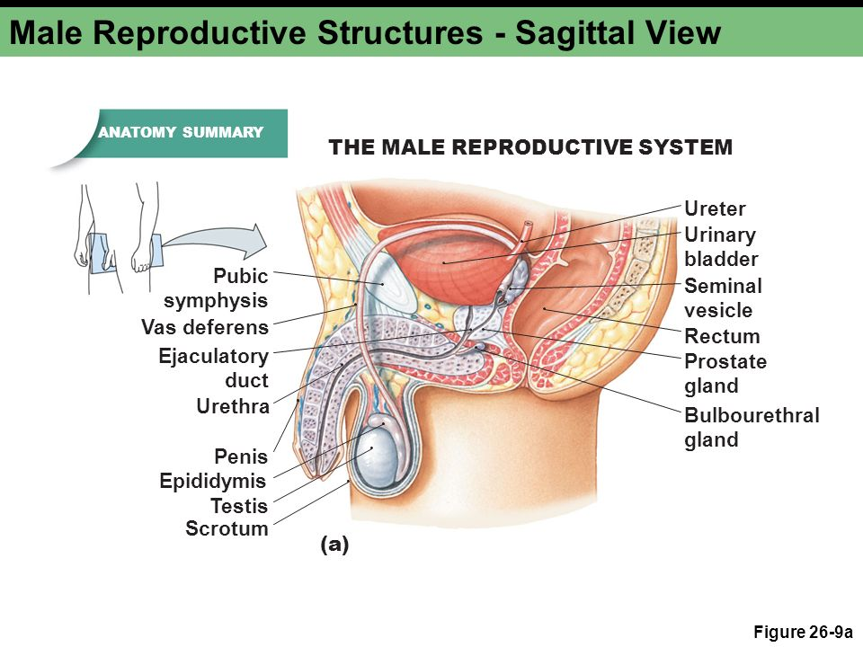 Perfect Male Anatomy Vas Deferens Ideas Anatomy And Physiology