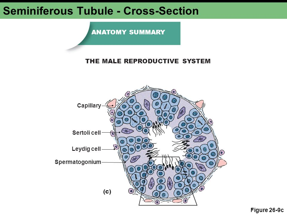 Chapter 26b Reproduction And Development Male Reproductive