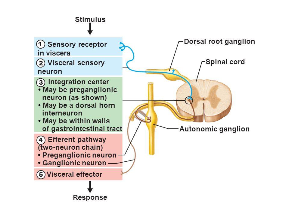 Sensory neuron integration center diagram example electrical circuit autonomic nervous system muse lecture 17 ch 16 dilate ppt download rh slideplayer com association neuron diagram sensory and motor neuron diagram ccuart Images
