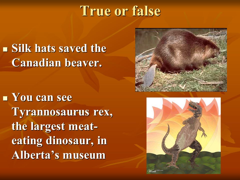 True or false Silk hats saved the Canadian beaver.