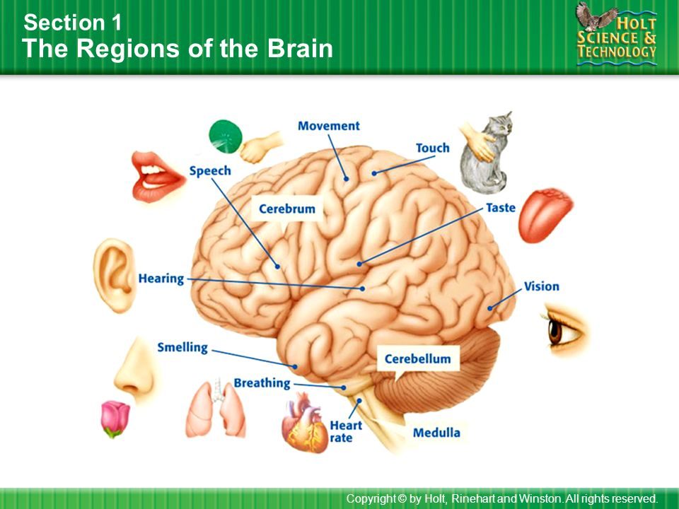 The Regions of the Brain Section 1 Copyright © by Holt, Rinehart and Winston. All rights reserved.