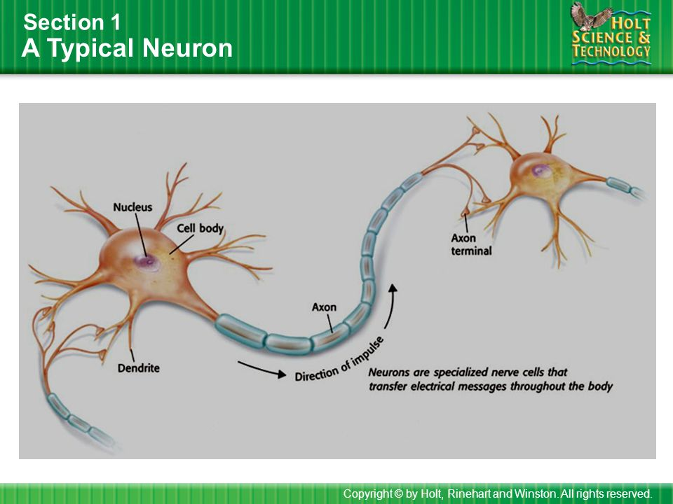A Typical Neuron Section 1 Copyright © by Holt, Rinehart and Winston. All rights reserved.