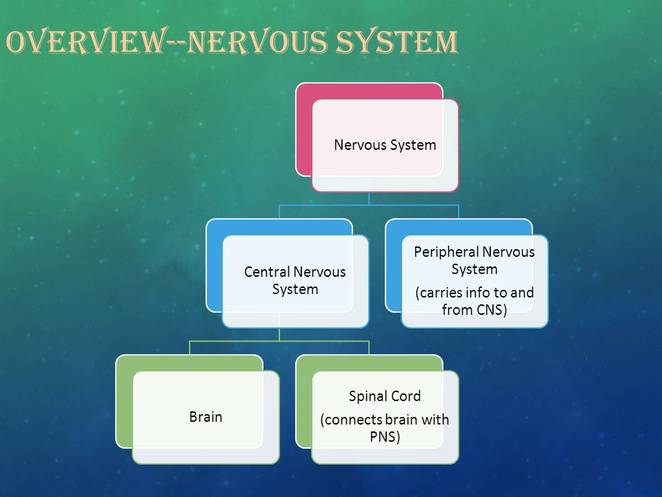 OVERVIEW--NERVOUS SYSTEM Nervous System Central Nervous System Brain Spinal Cord (connects brain with PNS) Peripheral Nervous System (carries info to and from CNS)