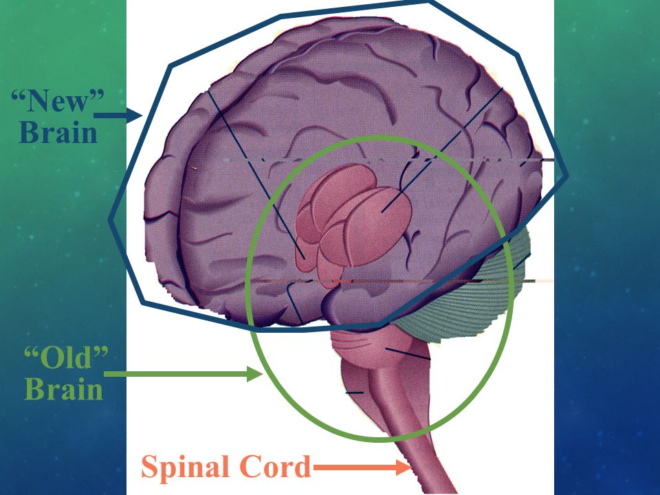 Spinal Cord Old Brain New Brain