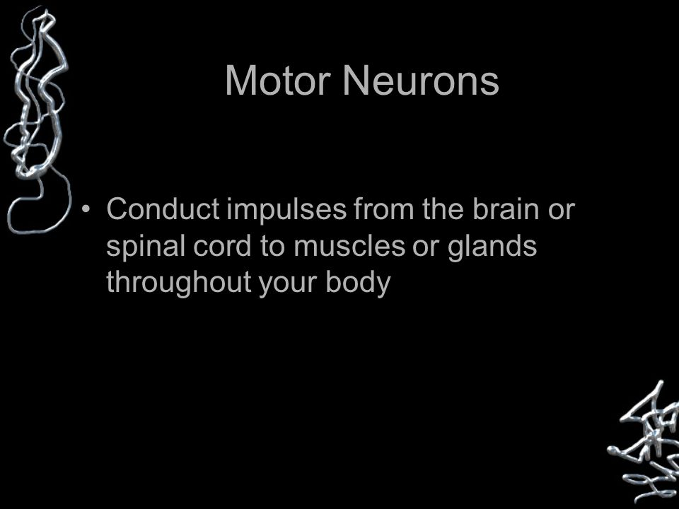 Motor Neurons Conduct impulses from the brain or spinal cord to muscles or glands throughout your body