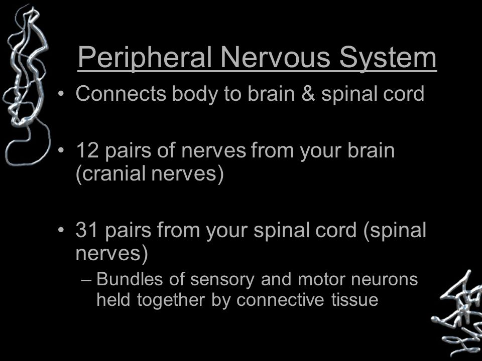 Peripheral Nervous System Connects body to brain & spinal cord 12 pairs of nerves from your brain (cranial nerves) 31 pairs from your spinal cord (spinal nerves) –Bundles of sensory and motor neurons held together by connective tissue
