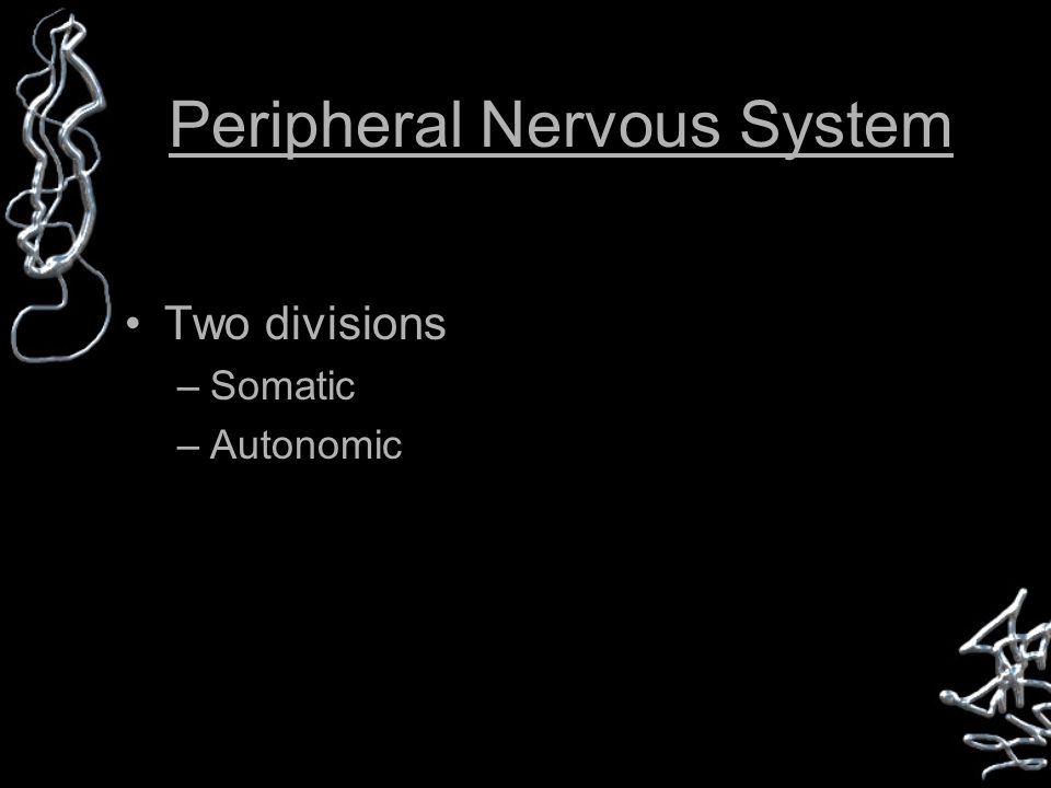 Peripheral Nervous System Two divisions –Somatic –Autonomic