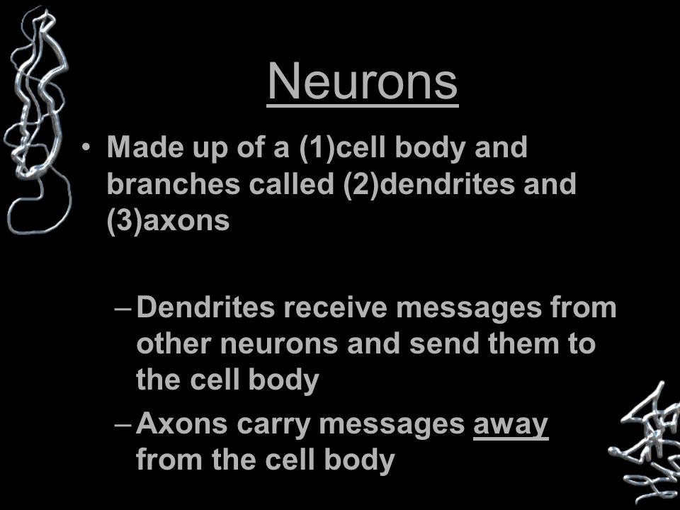 Neurons Made up of a (1)cell body and branches called (2)dendrites and (3)axons –Dendrites receive messages from other neurons and send them to the cell body –Axons carry messages away from the cell body