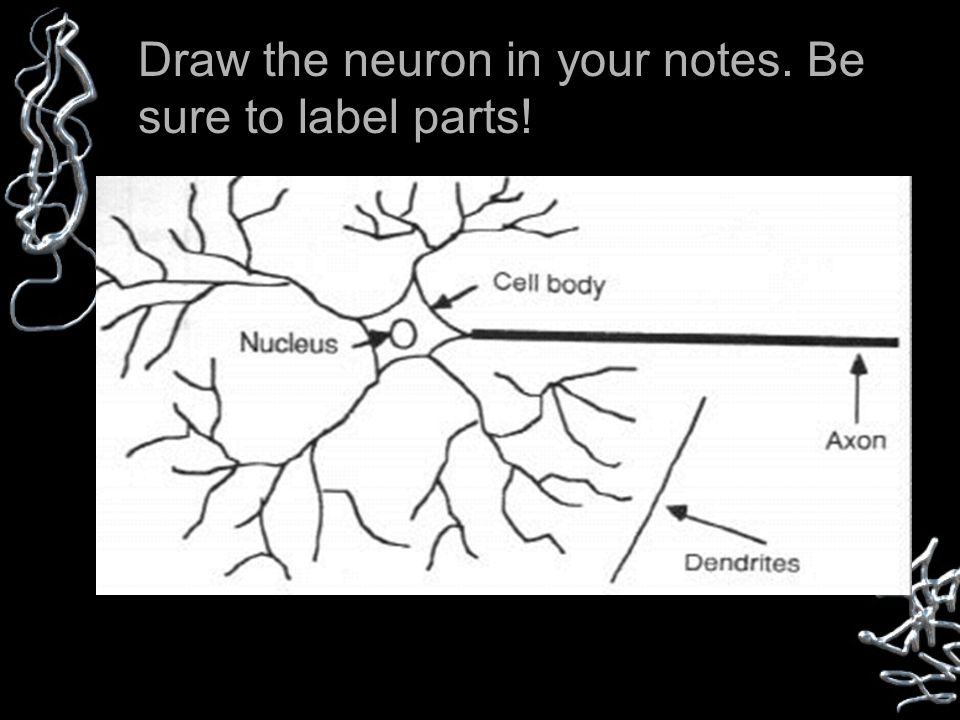 Any message carried by a neuron is called an impulse Draw the neuron in your notes.