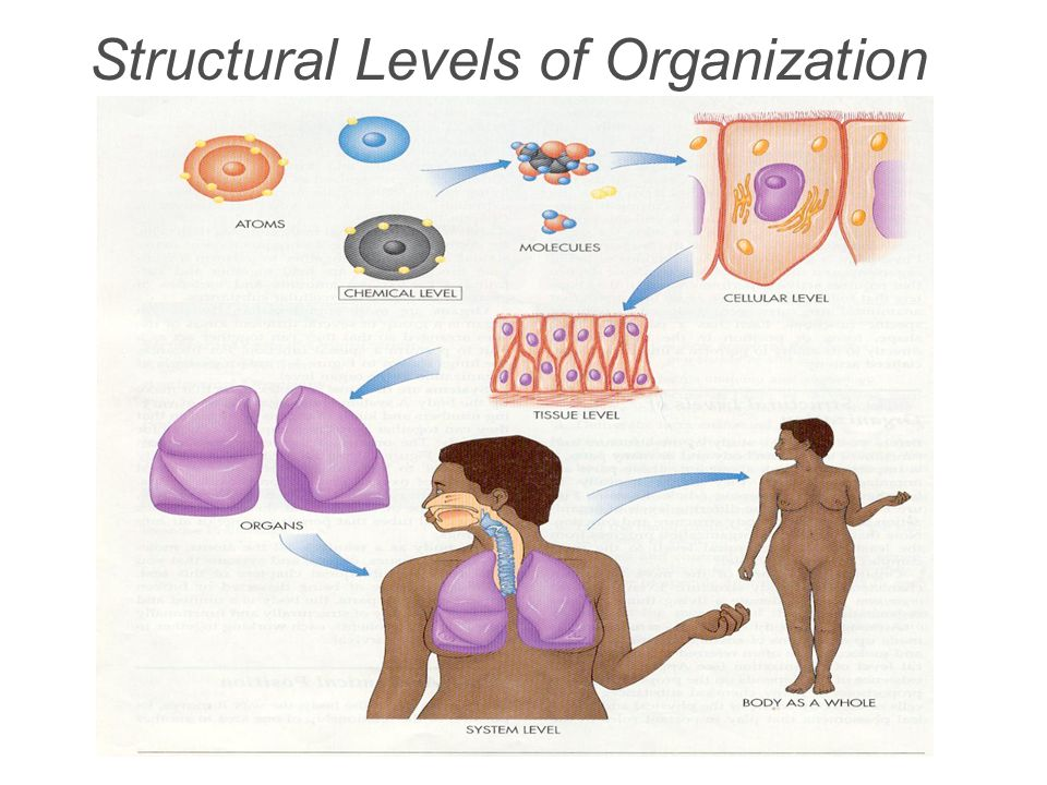 Structural Levels of Organization The body is a single structure, but it is made up of trillions of smaller structures working together to make a functioning organism Atoms combine to form molecules Molecules combine to form organelles Organelles combine to form cells (smallest living unit) Cells that work together combine to form tissues Tissues that work together to form organs Organs that work together form an organ system Organ Systems that work together form an organism