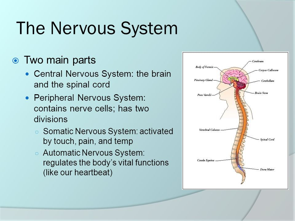 Chapter 3 The Nervous System Two Main Parts Central Nervous