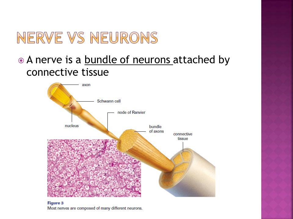  A nerve is a bundle of neurons attached by connective tissue