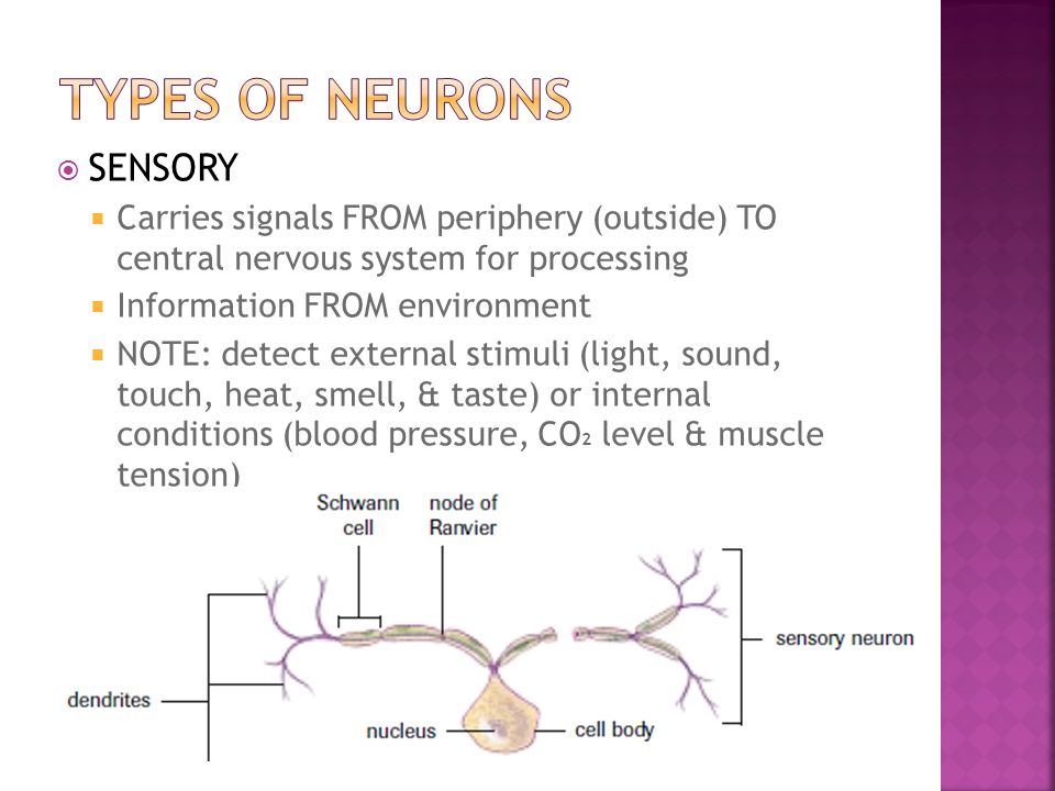  SENSORY  Carries signals FROM periphery (outside) TO central nervous system for processing  Information FROM environment  NOTE: detect external stimuli (light, sound, touch, heat, smell, & taste) or internal conditions (blood pressure, CO 2 level & muscle tension)
